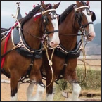 Two Clydesdale horses in a harness